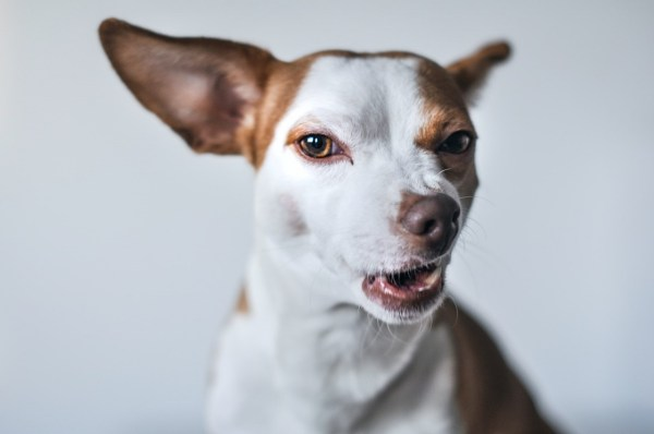 angry anxiety dog face focus photography