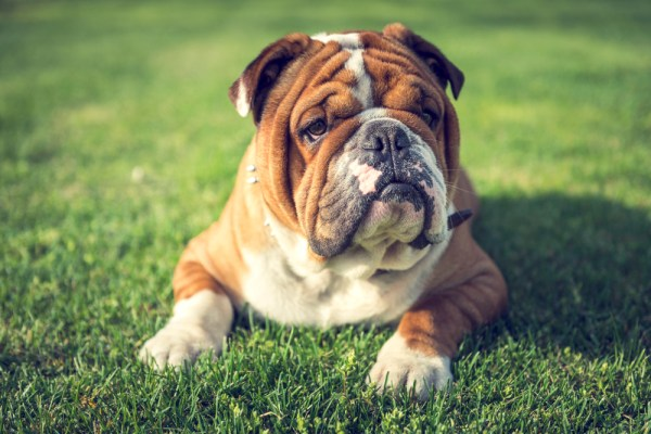 cute english bulldog laying down on the grass outdoor