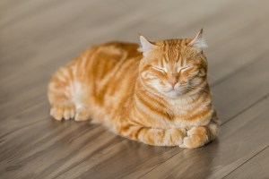 pet is overweight featured image