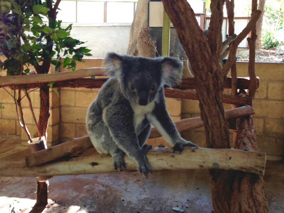 Koala | Things to do in Brisbane | Hello Raya Blog