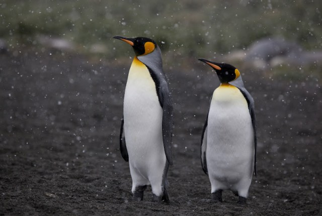 King Penguins | Travel to Antarctica | Hello Raya Blog