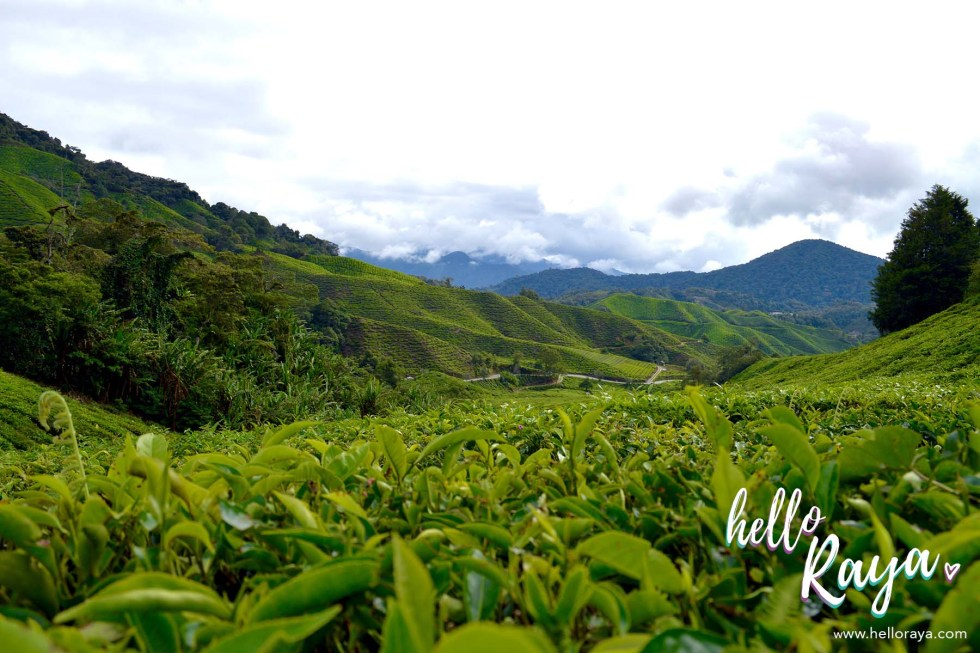 Boh Tea Sungei Palas | Things to do in Cameron Highlands | Hello Raya Blog