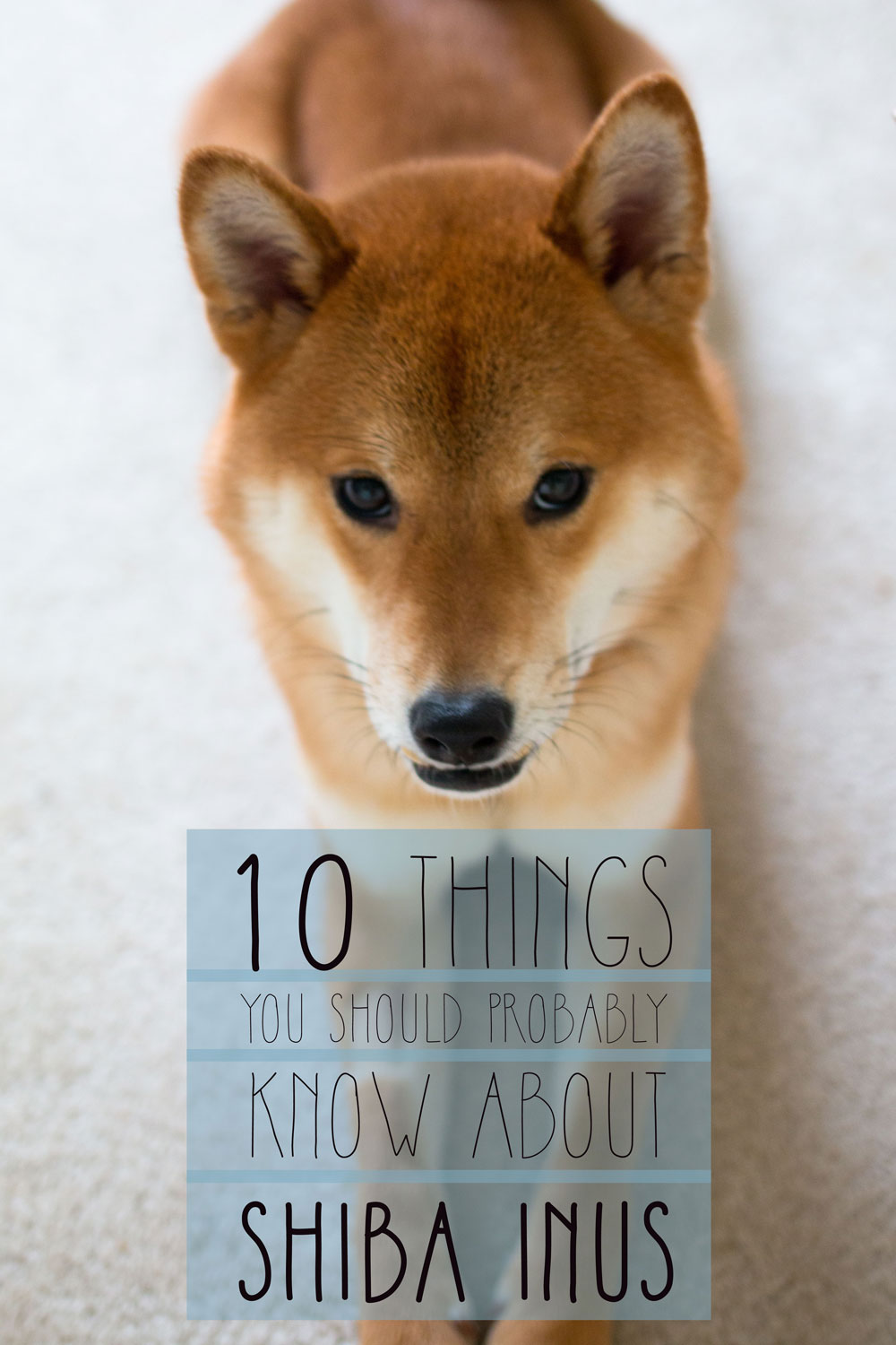 Do Shiba Inus Shed A Lot : shiba, Shiba, Temperament, Other, Things, Should, About