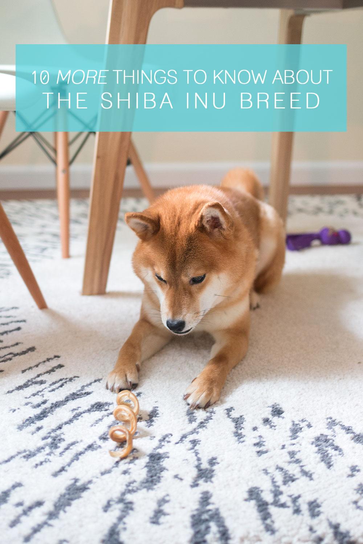 Do Shiba Inus Shed A Lot : shiba, Should, About, Shiba, Breed