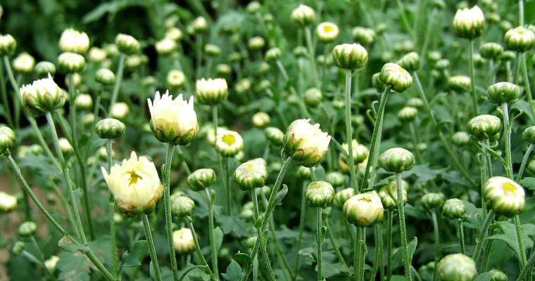 Why Chrysanthemum Tea is Good for Skin
