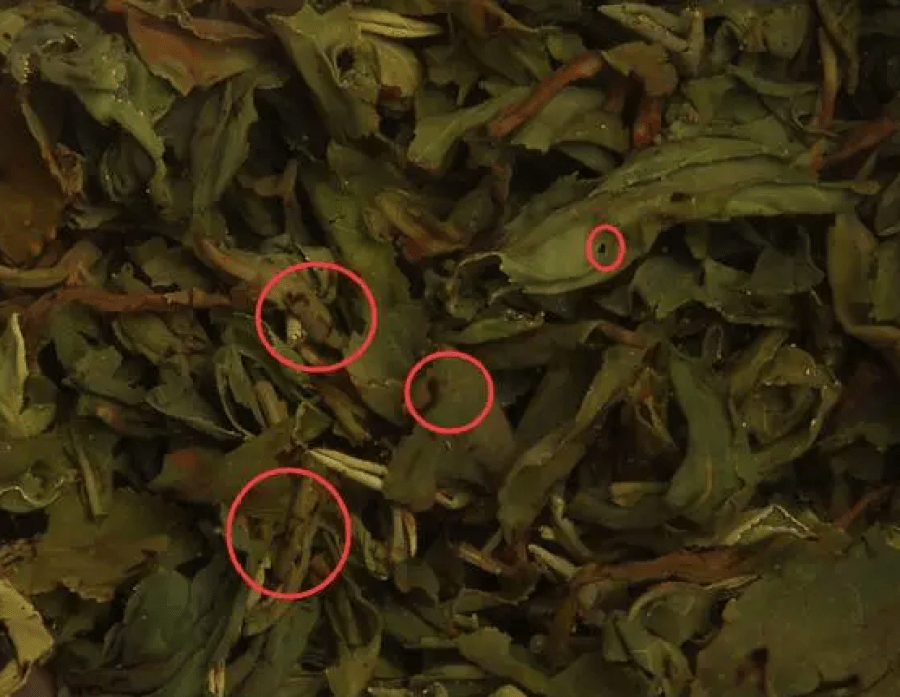 Black burnt spots on brewed tea leaves