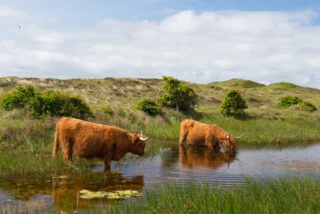 Schotse Hooglanders natuur wandelen Bollekamer Texel