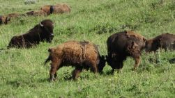 Bisons im Lamar Valley