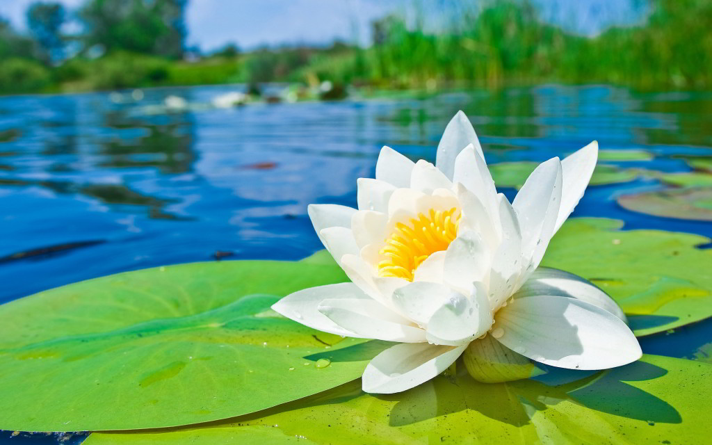 water lily the national
