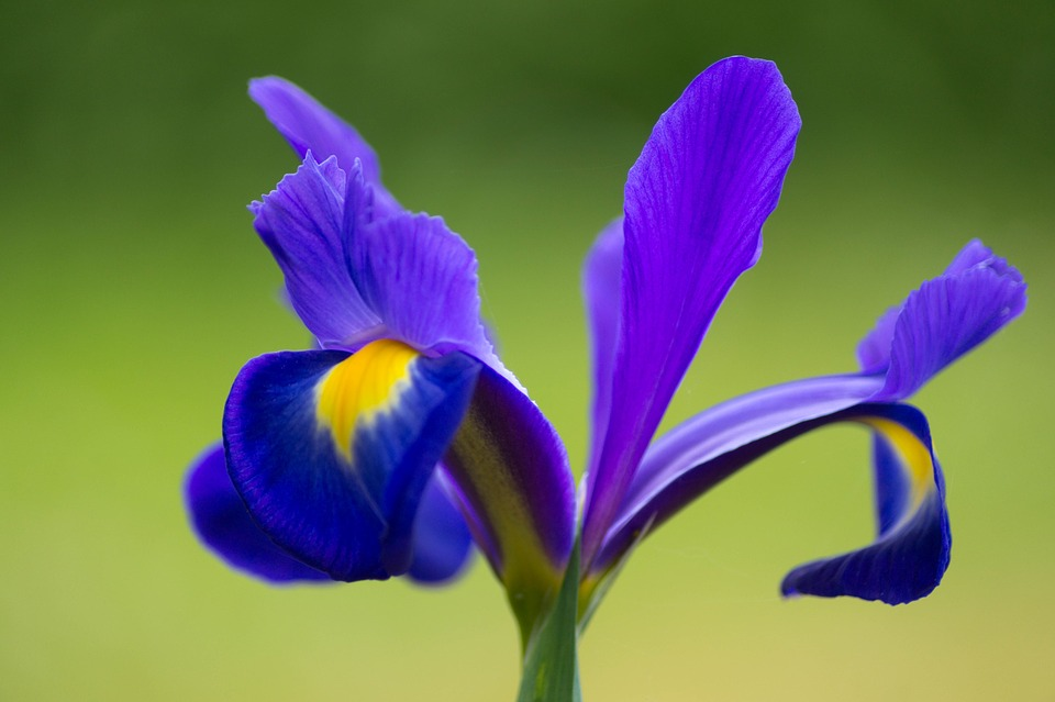 Image result for Official Flower of France
