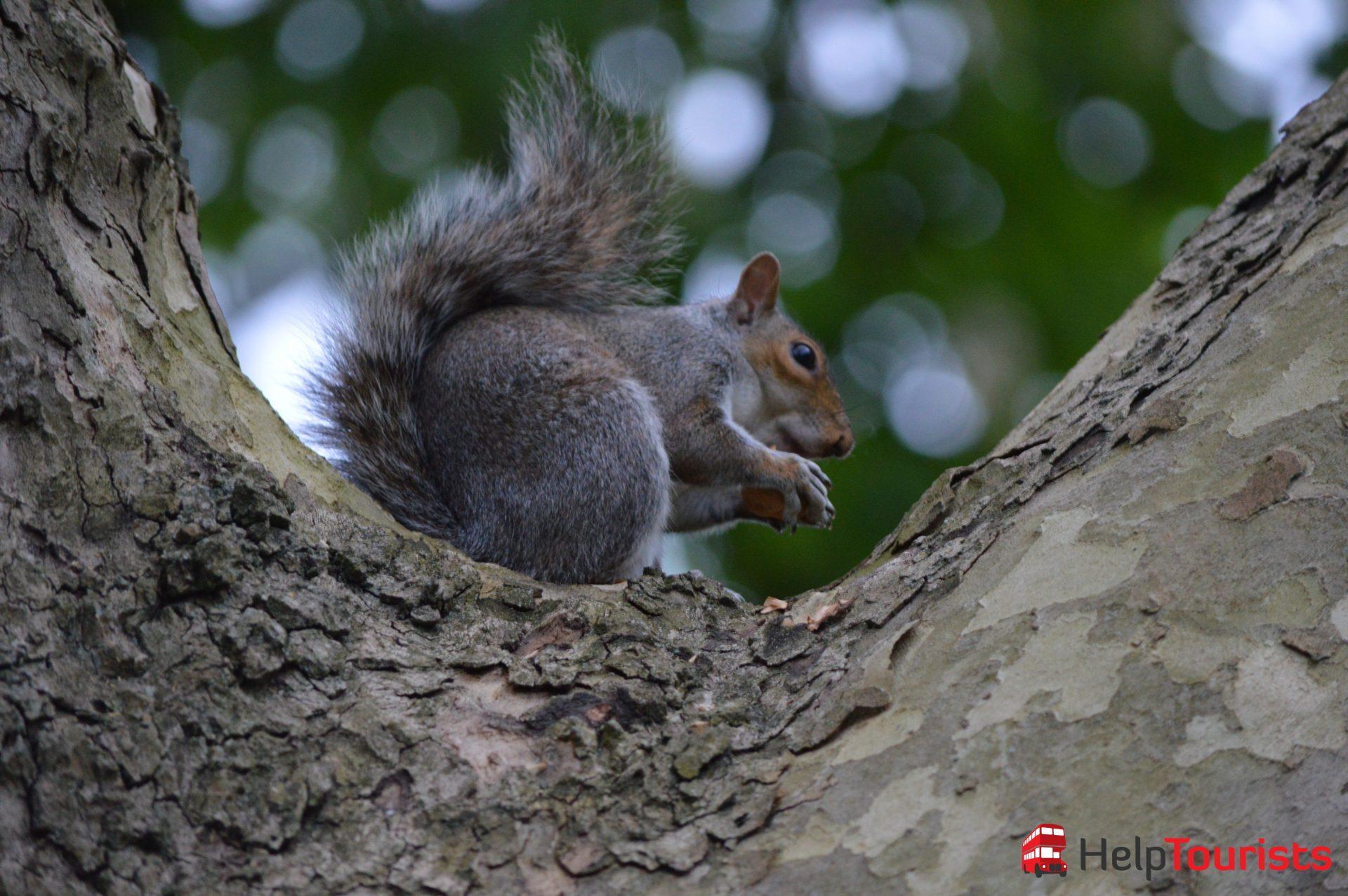 Regent's Park London Eichhörnchen