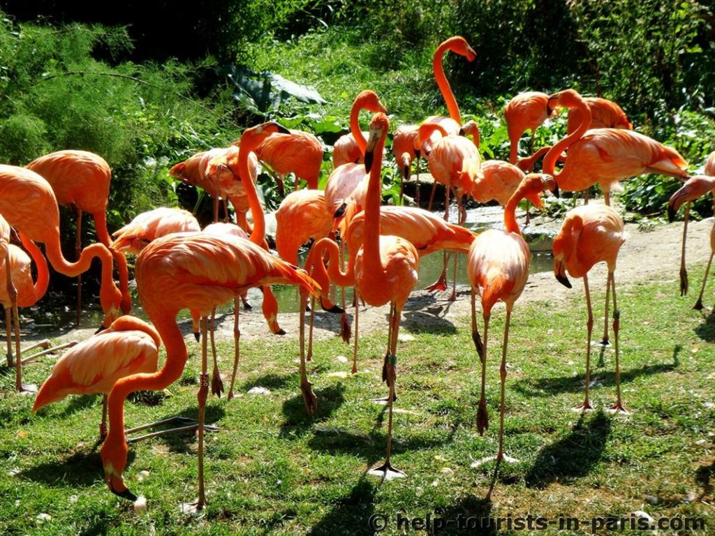 Flamingos im Pariser Zoo