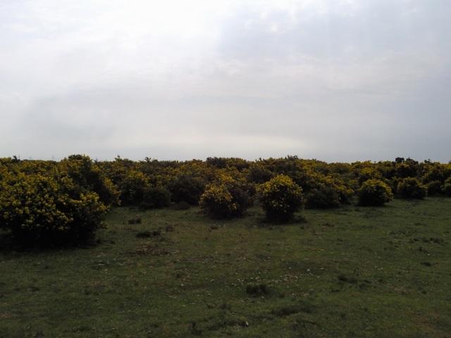 Gorse bushes growing on open heathland