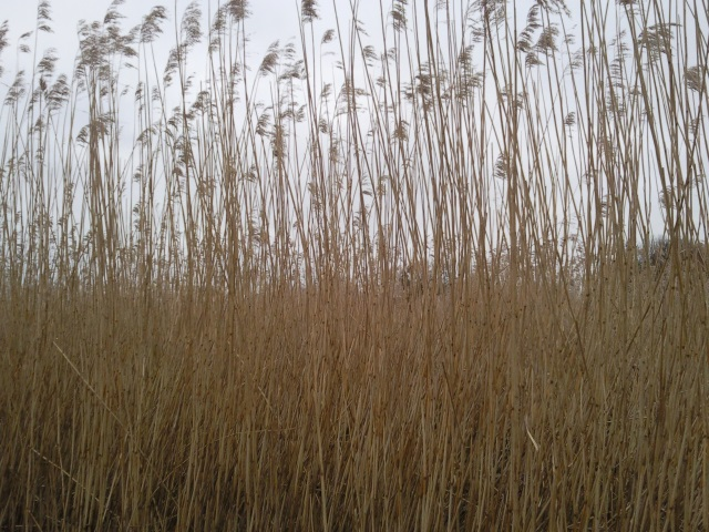 reeds topping eight feet in height