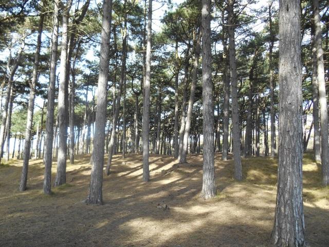 Pinewoods near Formby