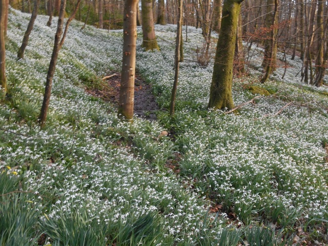 A carpet of snowdrops in Cally Mains Wood