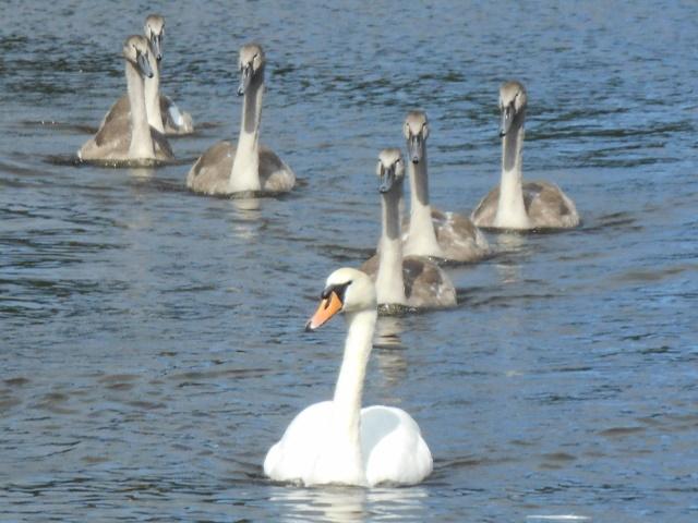 Swan and six cygnets