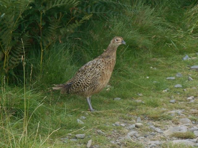 A hen pheasant