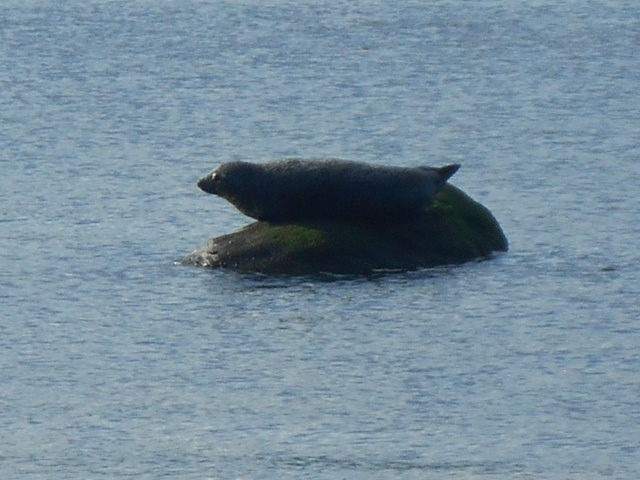 A seal sitting on a rock