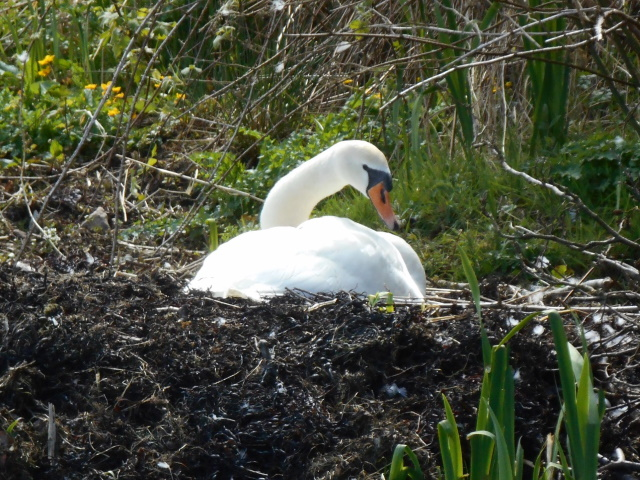 Swan in its nest