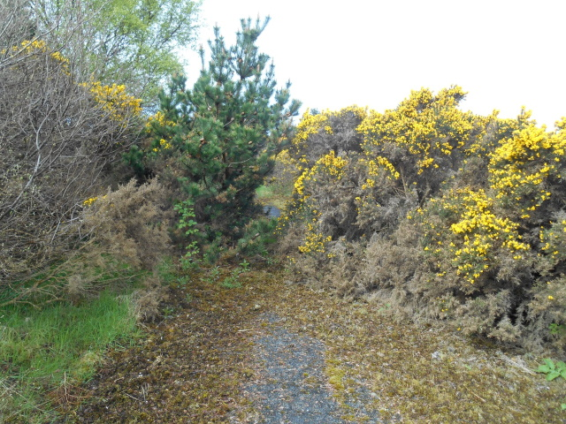 Old road section blocked by gorse
