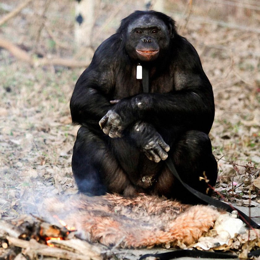 Bonobo Chimp Lights Fire and Cooks On It