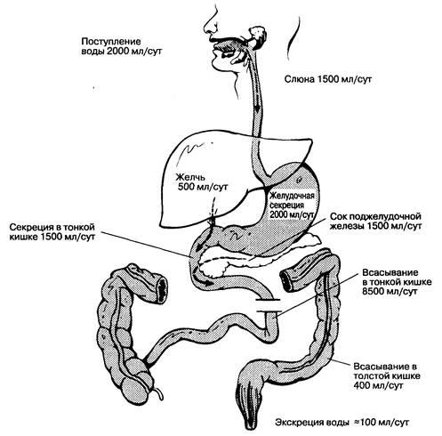 Основные механизмы всасывания и транспорта веществ