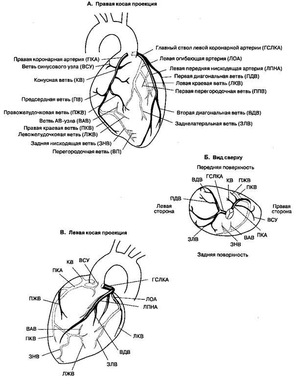 Регуляция коронарного кровотока