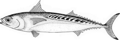 Frigate Mackerel (Auxis Rochei)