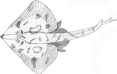 Common Skate (Raja Batis or Dipturus Batis)