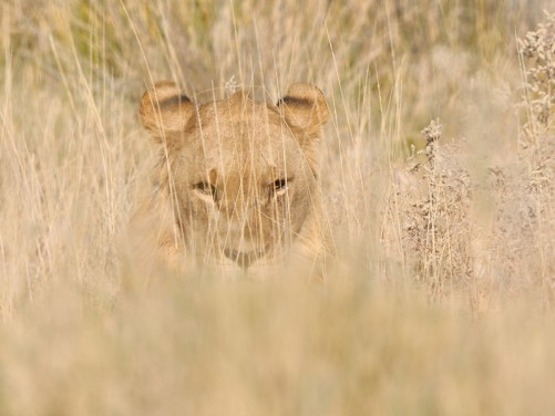 Picture of a lion hiding in the grass.