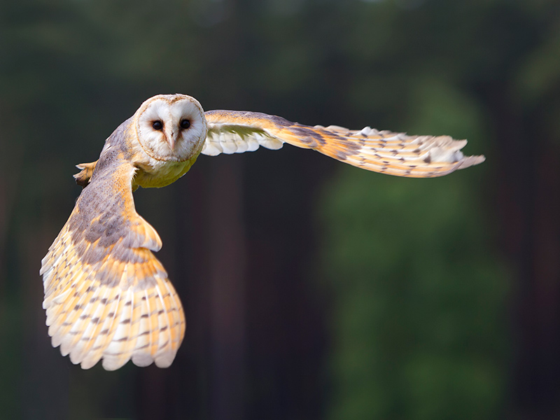 How Barn Owls Avoid Hearing Loss and How it Could Help You
