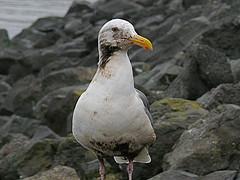 San Francisco Oil Spill - Partially Oiled Gull