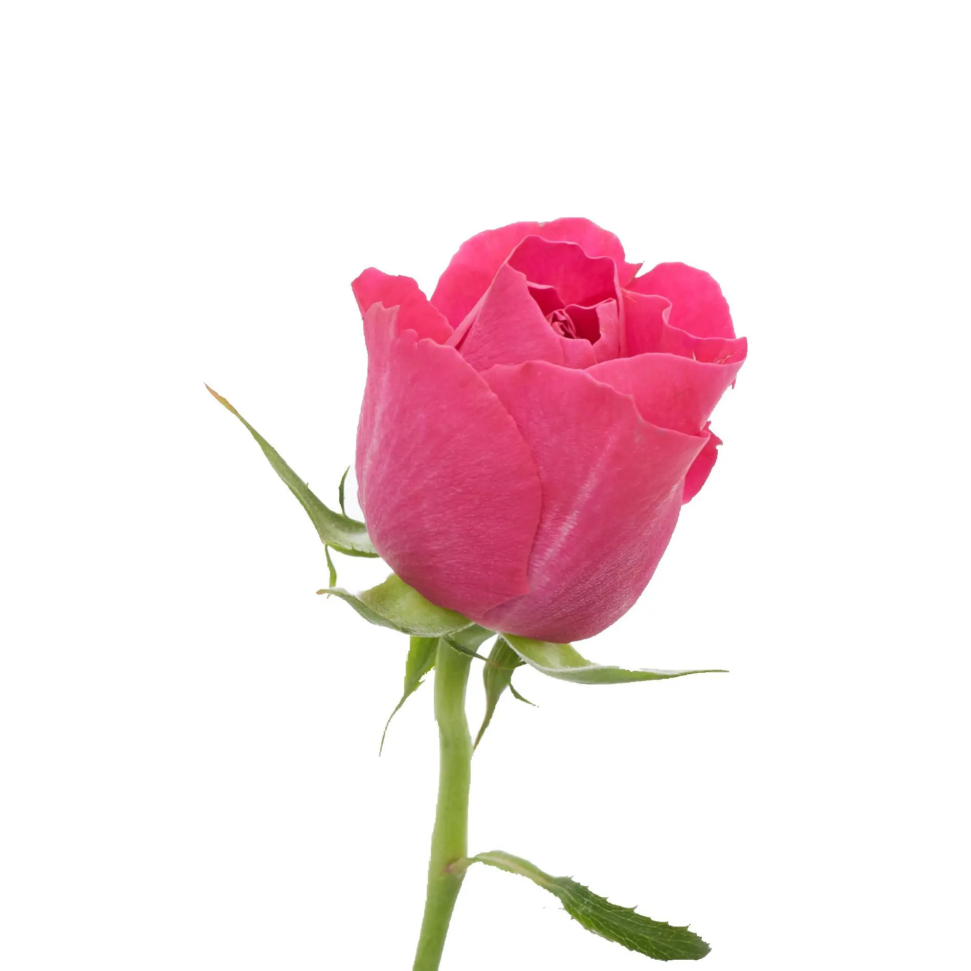 David Austin Roses0474