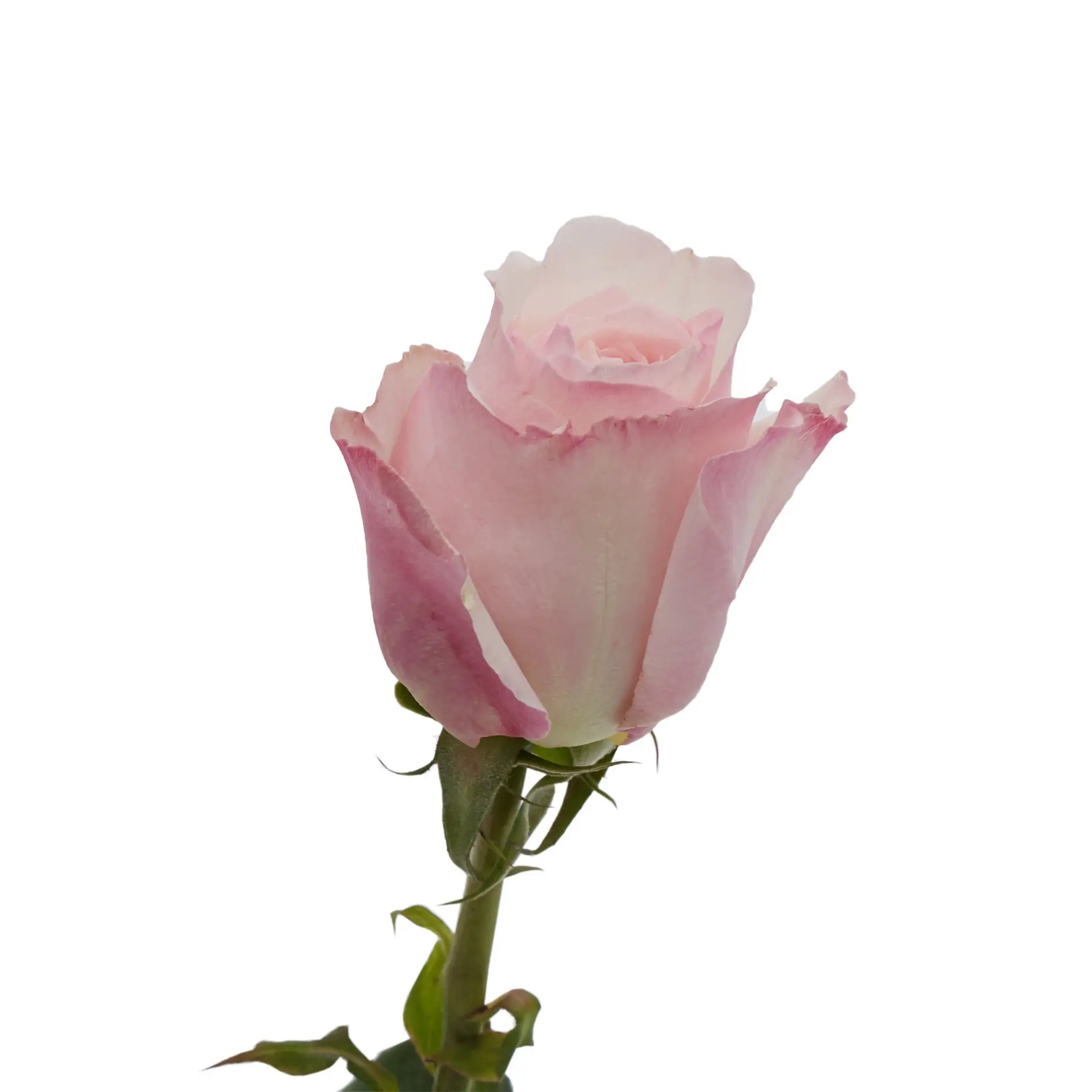 David Austin Roses0487