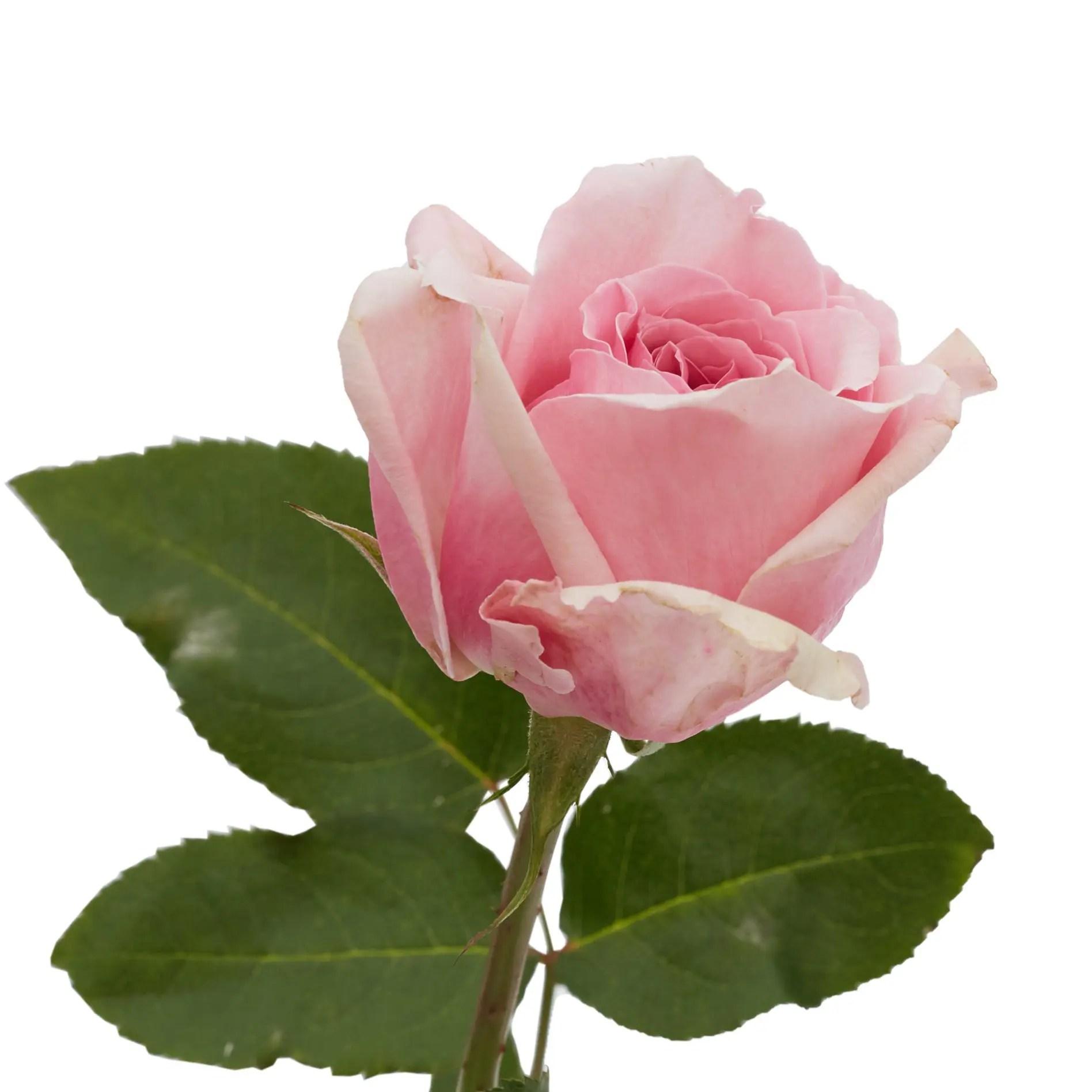 David Austin Roses0505