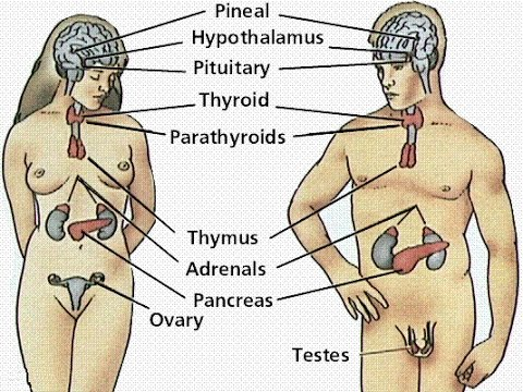 CBD and Our Endocrine System