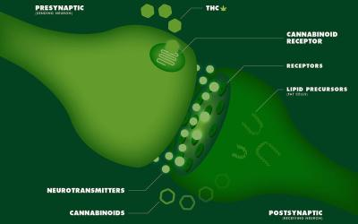 How And Why Our Brain Makes Its Own Cannabinoids
