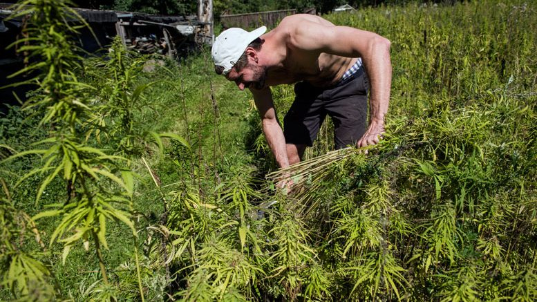 United Nations Declaration Backs Cannabis For Rural Development