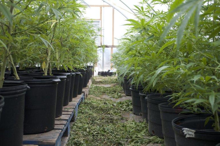 Could hemp join tobacco as big cash crop in Virginia?