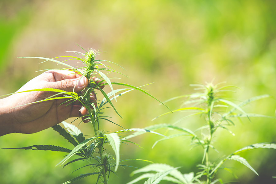 Newly Legalized Hemp Industry set to Create a Jobs Boom in the US