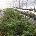 Clones and Seedlings for sale now in Southern Nevada