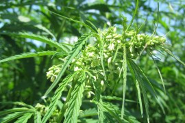 drugfree cannabis plant