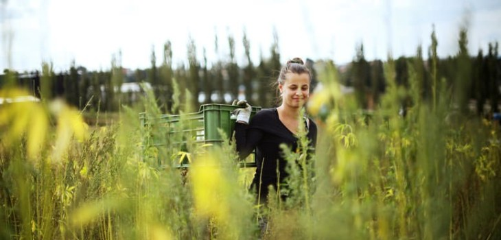 Hempoint harvest of hemp 2017