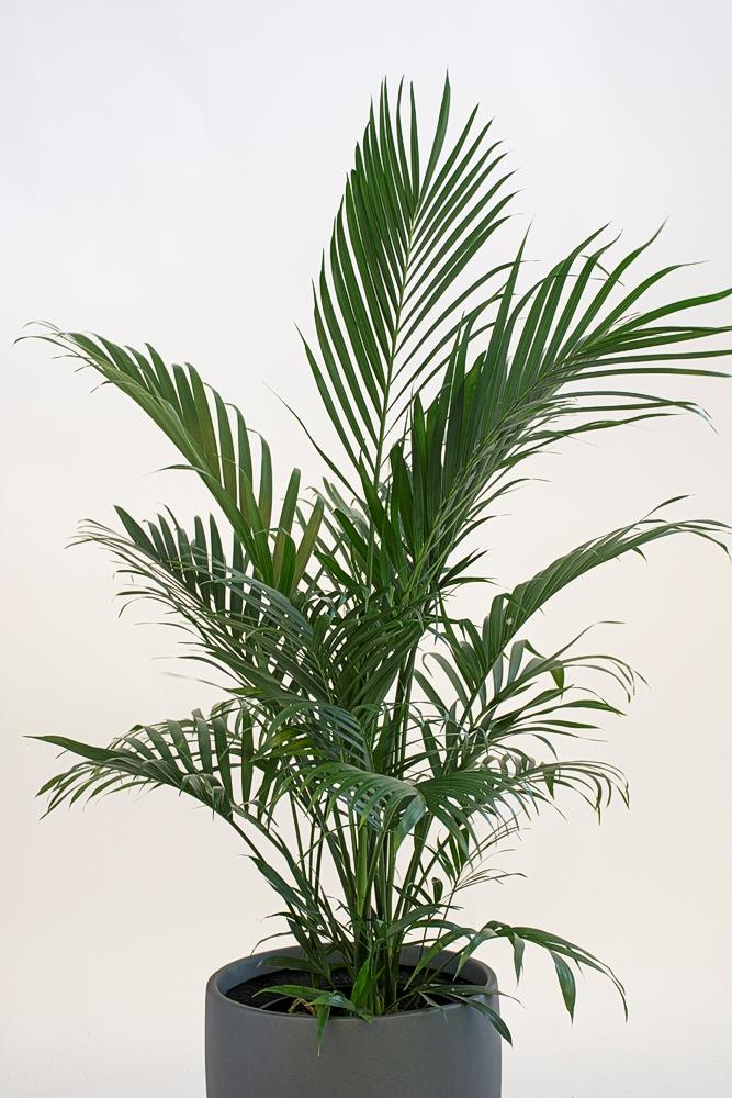 Chamaedorea Cataractarum – Cat Palm
