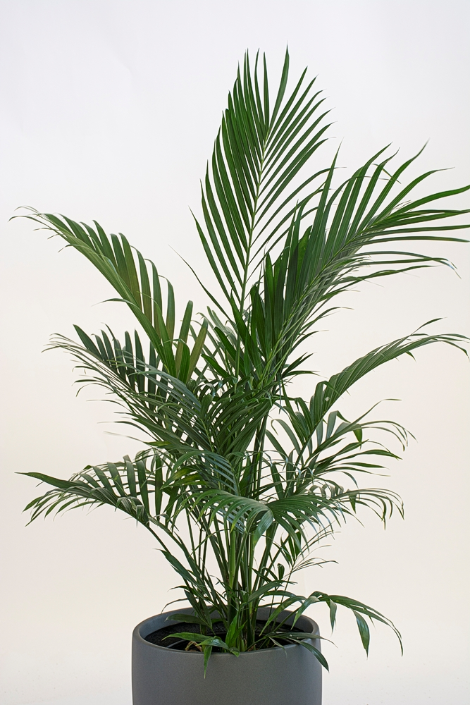 Chamaedorea Cataractarum – Cat Palm