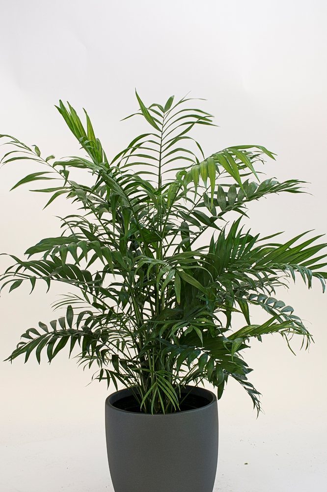 Chamaedorea Neanthe Bella Palm
