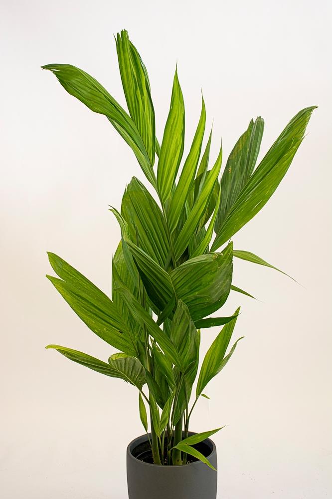 Triandra Palm