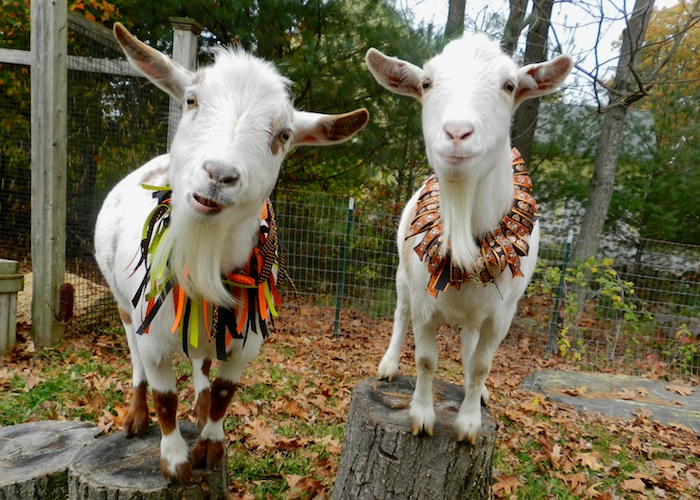 Costumes for the Goats  HenCam