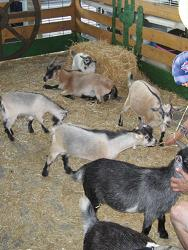 Bring the kids to the petting zoo at the Mountain State Fair